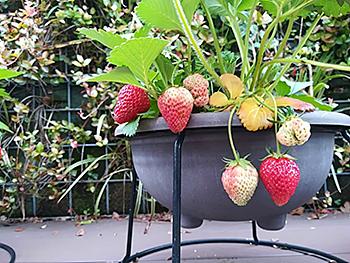 strawberry_180619_01.jpg